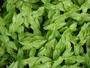 Commelinaceae - Callisia repens