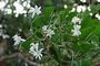 Oleaceae - Jasminum fluminense