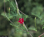 Convolvulaceae - Ipomoea quamoclit