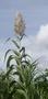 Poaceae - Arundo donax