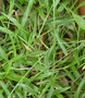 Poaceae - Urochloa distachya