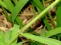 Poaceae - Urochloa mutica