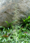 Poaceae - Eragrostis unioloides