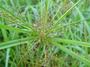 Cyperaceae - Cyperus odoratus