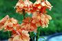 Acanthaceae - Crossandra infundibuliformis