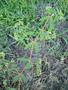 Euphorbiaceae - Euphorbia hyssopifolia
