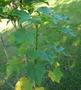 Euphorbiaceae - Jatropha curcas