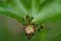Euphorbiaceae - Jatropha gossypiifolia var. gossypiifolia