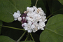 Lamiaceae - Clerodendrum chinense