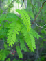 Fabaceae - Abrus precatorius