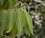 Piperaceae - Piper aduncum var. aduncum