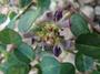 Fabaceae - Alysicarpus vaginalis