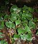 Araceae - Alocasia cucullata