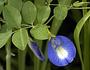 Fabaceae - Clitoria ternatea var. ternatea