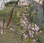Fabaceae - Gliricidia sepium