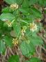 Fabaceae - Haematoxylum campechianum