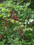 Fabaceae - Pithecellobium dulce