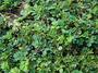 Fabaceae - Indigofera spicata