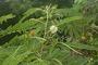 Fabaceae - Leucaena leucocephala subsp. leucocephala