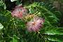 Fabaceae - Samanea saman