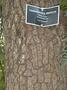 Fabaceae - Tamarindus indica