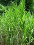 Poaceae - Cenchrus purpureus