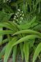 Haemodoraceae - Xiphidium caeruleum