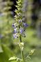 Lamiaceae - Plectranthus amboinicus