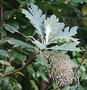Papaveraceae - Bocconia frutescens