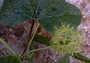 Passifloraceae - Passiflora foetida var. foetida