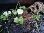 Piperaceae - Peperomia pellucida