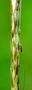Poaceae - Bothriochloa bladhii