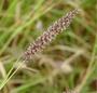 Poaceae - Cenchrus ciliaris