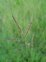 Poaceae - Dichanthium annulatum