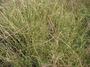 Poaceae - Dichanthium aristatum