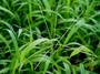 Poaceae - Digitaria horizontalis