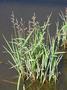 Poaceae - Echinochloa colona