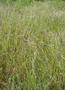 Poaceae - Heteropogon contortus