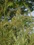 Poaceae - Hyparrhenia rufa