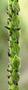 Poaceae - Paspalum dilatatum