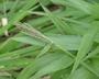 Poaceae - Paspalum paniculatum