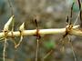 Poaceae - Sorghum halepense