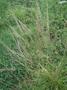 Poaceae - Sporobolus indicus