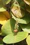 Polygonaceae - Coccoloba uvifera