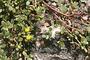 Portulacaceae - Portulaca oleracea subsp. oleracea