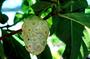Rubiaceae - Morinda citrifolia