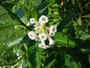 Solanaceae - Cestrum diurnum