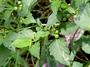 Solanaceae - Solanum americanum
