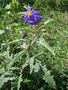 Solanaceae - Solanum elaeagnifolium