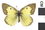 Image of Clouded Sulphur